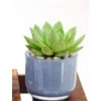 Horizon_VI_Glass_Succulent_assorted_e
